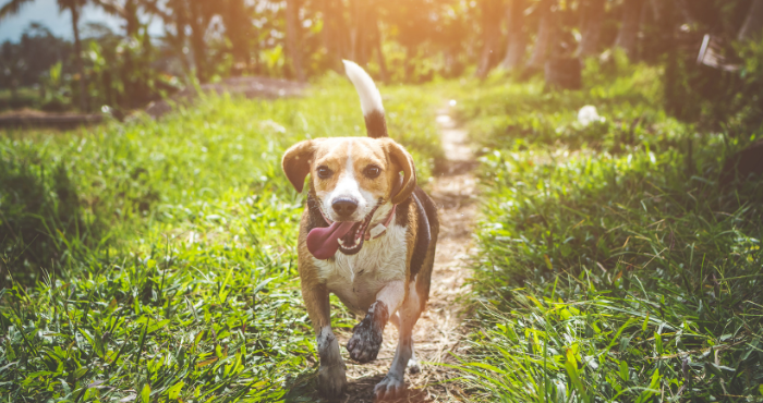 Beagle dog running